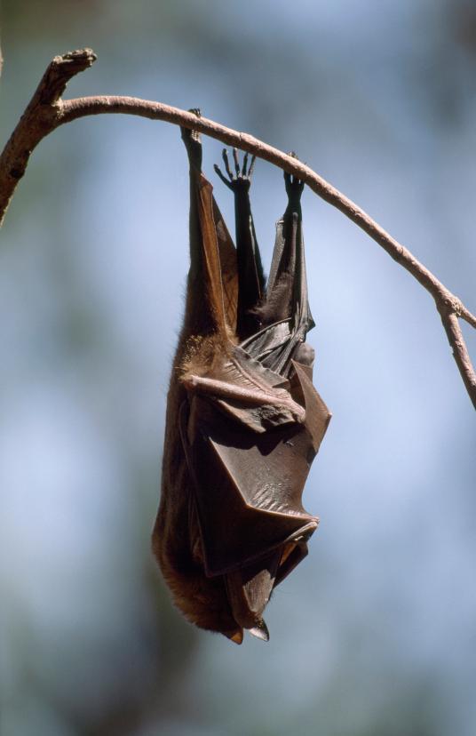 Хэллоуин еще некончился: лучшие фотографии летучих мышей отNatGeo | Канобу - Изображение 4690